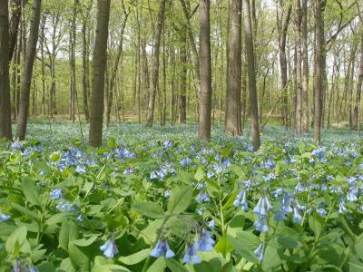 Virginia bluebells in the East Woods
