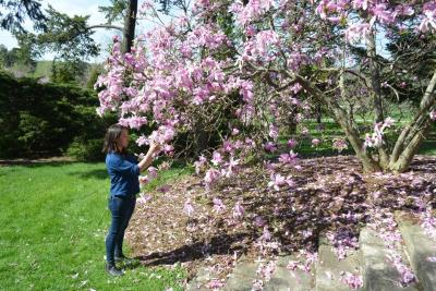 Kim Shearer collecting pollen from a magnolia