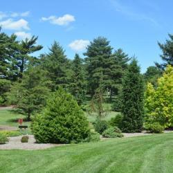 Dwarf conifers in summer
