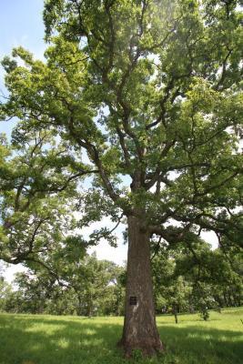 Millennium Oak in summer