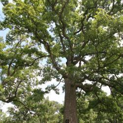 Ginkgo biloba 'PNI 2720' PP2726 (PRINCETON SENTRY® Ginkgo), leaf, summer