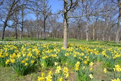 Daffodil Glade in spring