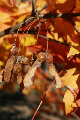 Acer barbatum (Florida Maple), fruit, mature
