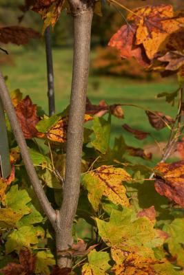 Acer barbatum (Florida Maple), bark, branch