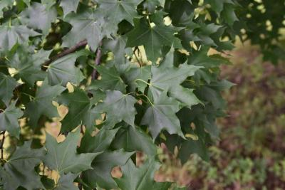 Acer platanoides x truncatum 'JFS-KW202' (CRIMSON SUNSET® Norway-Shantung Hybrid Maple), leaf, summer