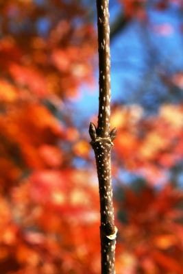 Acer barbatum (Florida Maple), bud, lateral