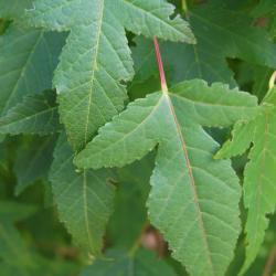 Acer ginnala 'Compactum' (Dwarf Amur Maple), leaf, upper surface