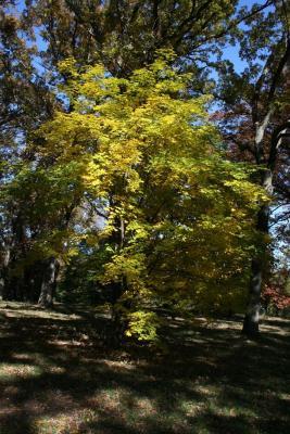 Acer cappadocicum 'Aureum' (Golden Coliseum Maple), habit, fall