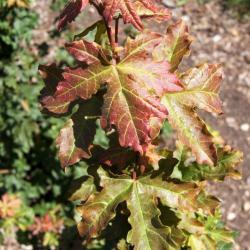 Acer campestre (Hedge Maple), leaf, fall