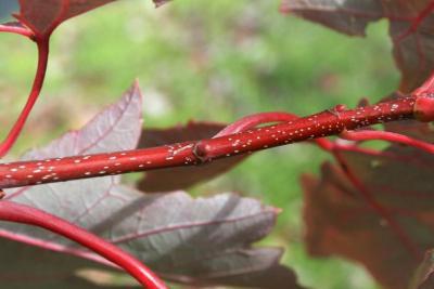 Acer xfreemanii 'DTR 102' (AUTUMN FANTASY® Freeman's Maple), bark, twig