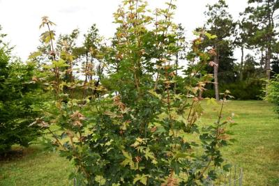 Acer campestre 'BAllee' (JADE PATINA™ FIRST EDITION® series Hedge Maple), habit, summer