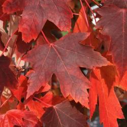 Acer xfreemanii 'DTR 102' (AUTUMN FANTASY® Freeman's Maple), habit, fall