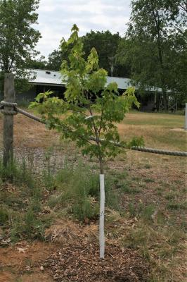 Acer xfreemanii 'Jeffersred' (AUTUMN BLAZE® Freeman's Maple), habit, young