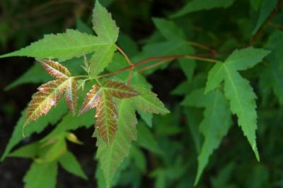 Acer ginnala 'Compactum' (Dwarf Amur Maple), leaf, spring