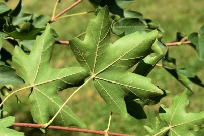 Acer campestre (Hedge Maple), leaf, lower surface