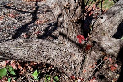 Acer ginnala (Amur Maple), bark, mature