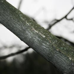 Acer xfreemanii (Freeman's Maple), bark, branch
