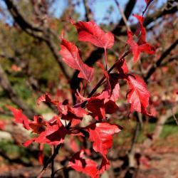 Ginkgo biloba (ginkgo), twig with leaves in fall
