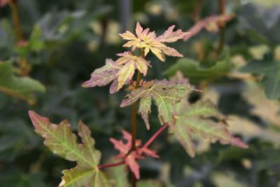Acer campestre 'BAllee' (JADE PATINA™ FIRST EDITION® series Hedge Maple), leaf, new
