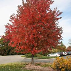 Acer x freemanii 'Armstrong' (Armstrong Freeman's Maple), leaf, fall