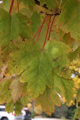 Acer xfreemanii 'Marmo' (Marmo Freeman's Maple), leaf, fall