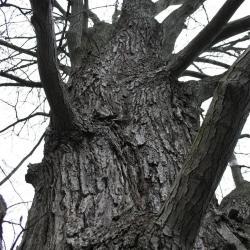 Acer freemanii (Freeman's Maple), bark, mature