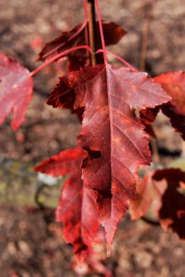 Acer ginnala (Amur Maple), leaf, fall