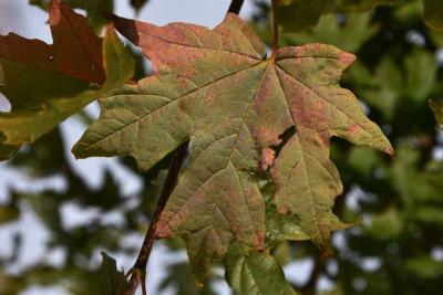 Acer barbatum (Florida Maple), leaf, lower surface
