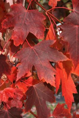 Acer xfreemanii 'DTR 102' (AUTUMN FANTASY® Freeman's Maple), leaf, fall