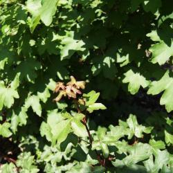 Acer campestre (Hedge Maple), leaf, new