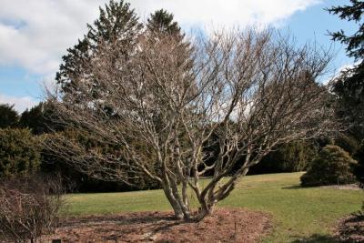 Acer cissifolium (Ivy-leaved Maple), habit, spring