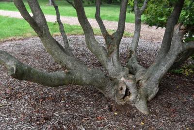 Acer cissifolium (Ivy-leaved Maple), bark, trunk