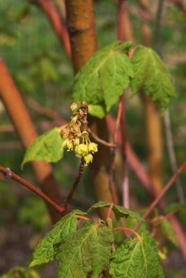 Acer barbinerve (Hairy-veined Maple), fruit, immature