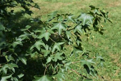Acer campestre (Hedge Maple), leaf, summer