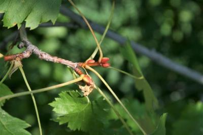 Acer glabrum (Rocky Mountain Maple), bud, terminal
