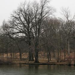 Acer freemanii (Freeman's Maple), habit, winter