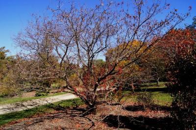 Acer ginnala (Amur Maple), habit, fall