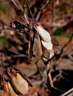 Acer ginnala (Amur Maple), fruit, mature