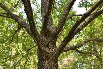 Acer campestre (Hedge Maple), bark, mature
