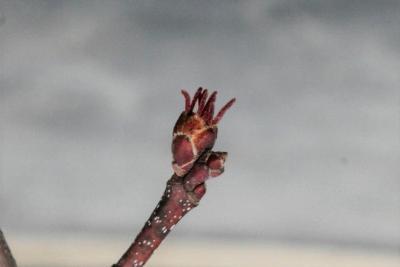 Acer xfreemanii 'DTR 102' (AUTUMN FANTASY® Freeman's Maple), flower, pistillate