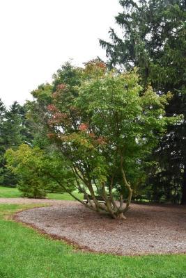 Acer cissifolium (Ivy-leaved Maple), habit, fall