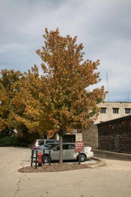 Acer xfreemanii 'Marmo' (Marmo Freeman's Maple), habit, fall
