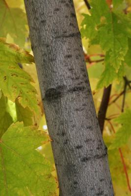 Acer xfreemanii 'Marmo' (Marmo Freeman's Maple), bark, branch
