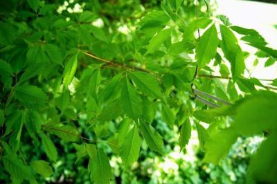 Acer cissifolium (Ivy-leaved Maple), leaf, spring
