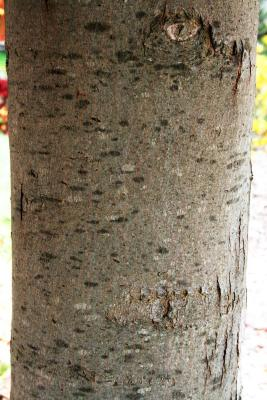 Acer xfreemanii 'DTR 102' (AUTUMN FANTASY® Freeman's Maple), bark, branch