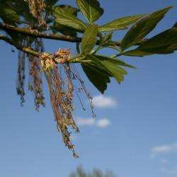 Acer negundo (Boxelder), flower, staminate