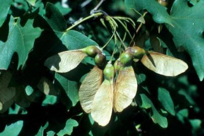 Acer grandidentatum (Big-toothed Maple), fruit, mature