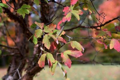 Acer griseum (Paper-barked Maple), leaf, fall
