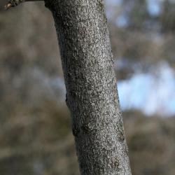Acer negundo (Boxelder), bark, branch