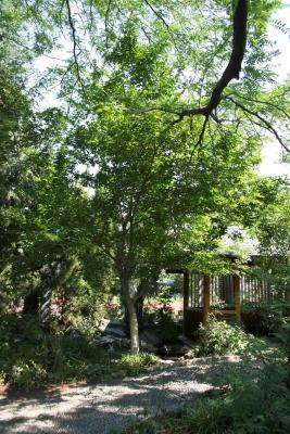 Acer henryi (Chinese Boxelder), habit, summer